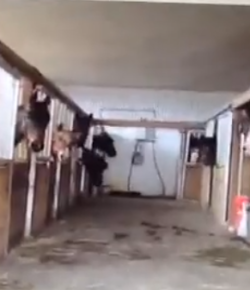 Draft Horses Freak Out Over Whinny Ring Tone