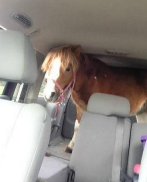 Best of Craigslist: 'Mini Horse in a Minivan' Edition ...
