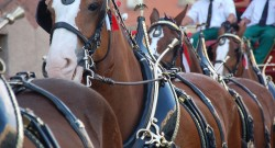 15 Facts About the Budweiser Clydesdales for Your Superbowl Sunday