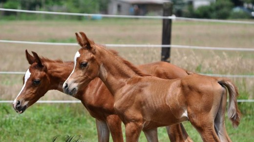 BOGO Foals: Twin Colts Who Shared a Single Placenta