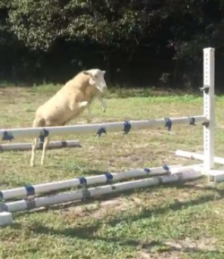 Video: This Jumping Sheep May Put Your Horses to Shame