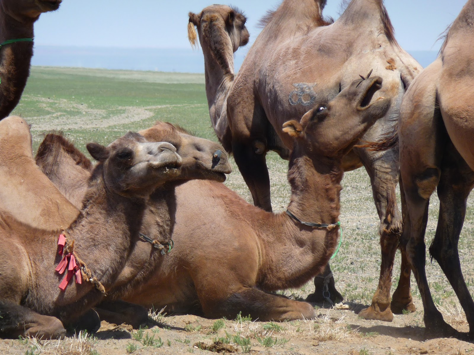 Camels yawning is the stuff of nightmares.