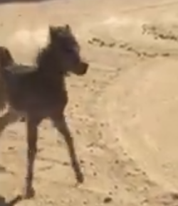 Tuesday Video: Mini Foal Does Best Secretariat Impression