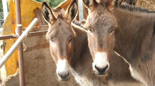 Donkeys Are Under Threat Worldwide