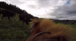 Video: Geoffry the Conqueror Moves Cattle