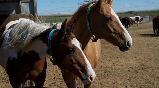 BREAKING: Senate Passes Amendment to Prohibit Funding Horse Slaughter Inspectors