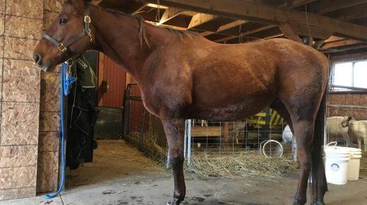 The OTTB Cow Horse Chronicles: Meet Jobber Bill