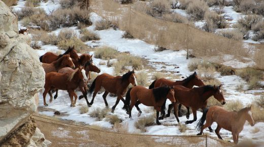 2019 BLM Budget Request Again Proposes Lifting Regulations on Sale & Slaughter