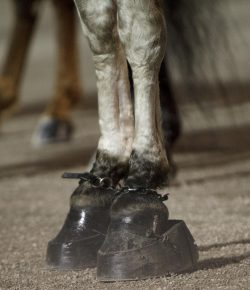 Clinic Report: USDA/SHOW Tennessee Walking Horse Shoeing Compliance