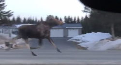 KER Friday Video: That's a Moose, Kid