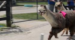 Watch This: The Alpaca Derby