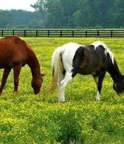 Kentucky Performance Products: Buttercup Toxicity
