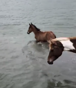 Lighthoof Tuesday Video: Practice Pony Swim