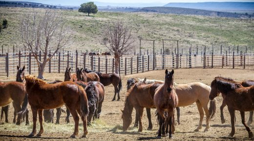 BLM Policy Changes & Interior Appropriations Bill Could Bring Big Changes to Mustang Management