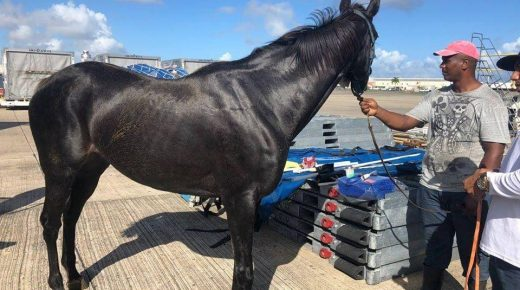 Coming Home: Caribbean Thoroughbred Aftercare Brings 'Warhorses' Back to US