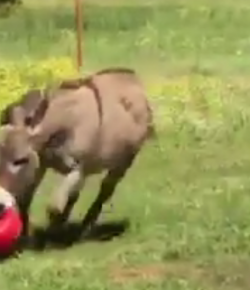 Thursday Video: The Happiest Donkey In the World