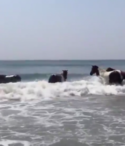 #TGIF, by Flexible Fit Equestrian: Assateague Ponies Enjoying the Beach