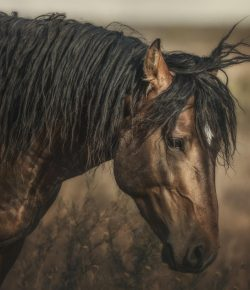The Wild Mustangs of Onaqui Mountains: In Danger