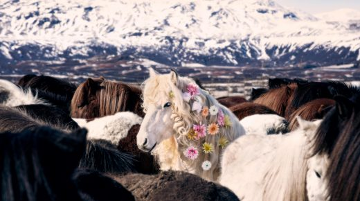 Gray Malin Brings a Whimsical Look to Icelandic Horses