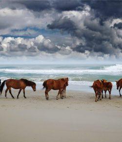Editorial: Corolla's Wild Horses Need a Lifeline