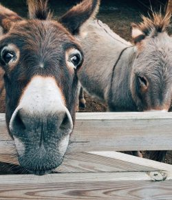 Are Donkeys the New Black?