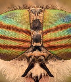 Red Mare vs. Horsefly