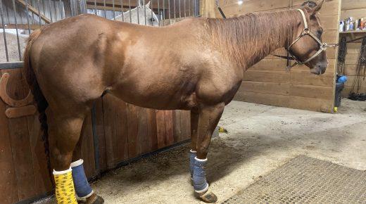 Rehabbing Funny Bunny B's Injury: Conquering Proud Flesh