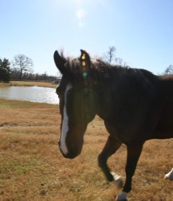 Retired U.S. Border Patrol Horse With the Longest Record of Active Service Has Retired at the Cleveland Amory Black Beauty Ranch