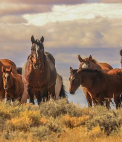 Feds Intent on Removing Wyoming's Wild Horses