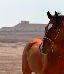Genetic Study Challenges Commonly Held Beliefs About Arabian Horses