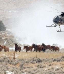 Op-Ed: President Trump and the U.S. Congress Should Step Up and Protect Iconic American Wild Horses