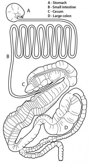 Produtos de desempenho de Kentucky: úlceras colônicas em cavalos 2