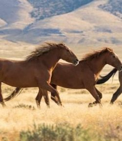 Wild Horse Advocacy Groups Urge Haaland to Promote Safe Management Methods