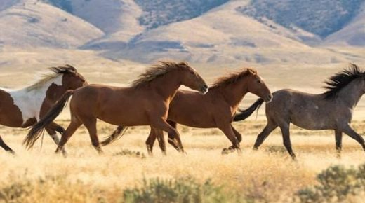 BLM Releases Plan to Remove 40 Percent of Wyoming's Wild Horse Population