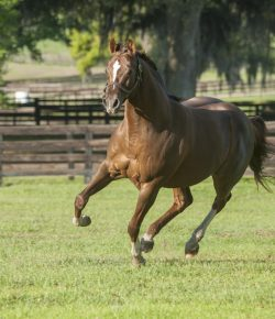 Editorial: In Defense of the American Thoroughbred
