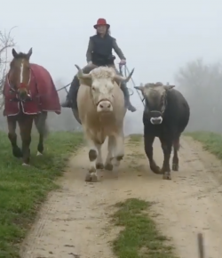 Thursday Video: Ponying and … Calving?
