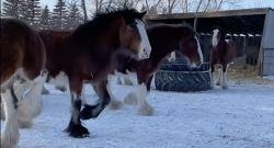 Thursday Video: Clydesdale Fix
