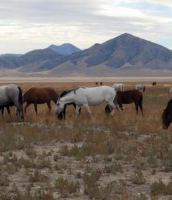 Haaland Brings Bold Vision to Wild Horse Management