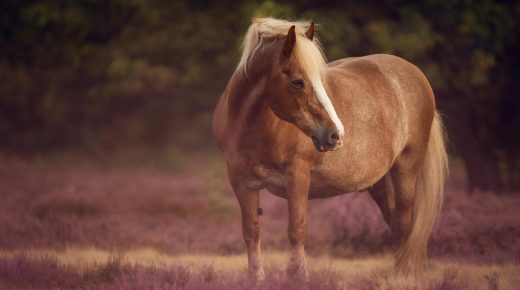 New Study Investigates Whether Obesity a Risk Factor for Asthma in Horses